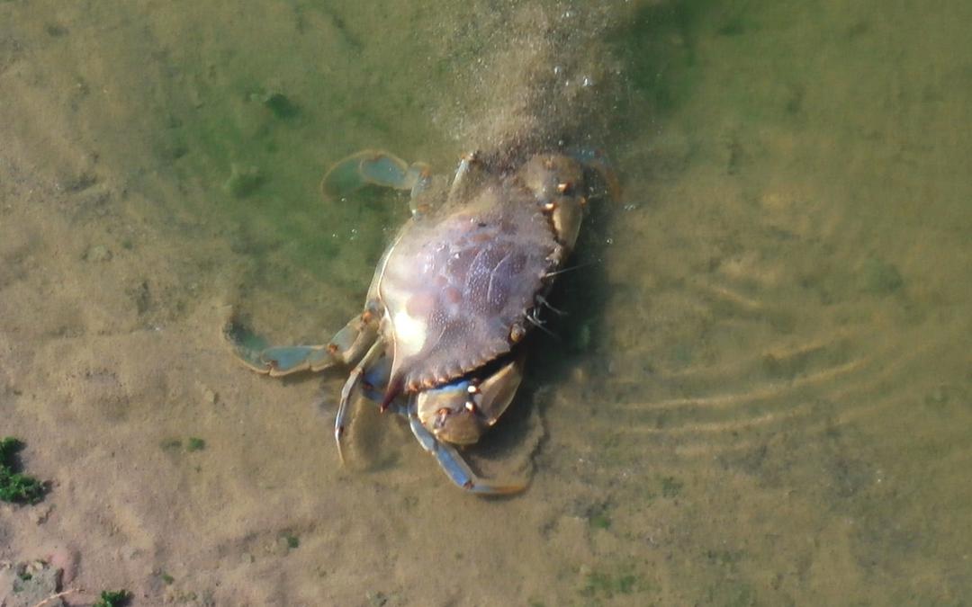 El cangrejo azul invade el Parque Natural Cabo de Gata-Níjar